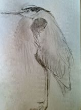 Great blue heron sketch