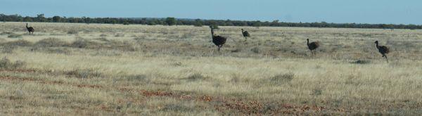 1 - Emus running - Thargo to Innamincka