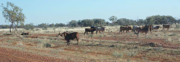 3 - Brahman cattle