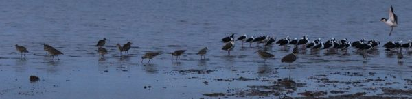 godwits and stilts