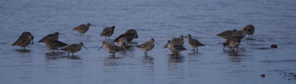 godwits in morning light