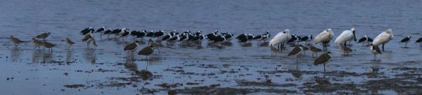godwits stilts spoonbills and lapwings