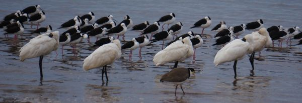 spoonbills and stilts - chilly morning