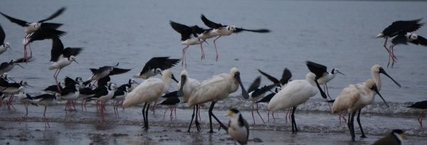 stilts and spoonbills plus lapwing