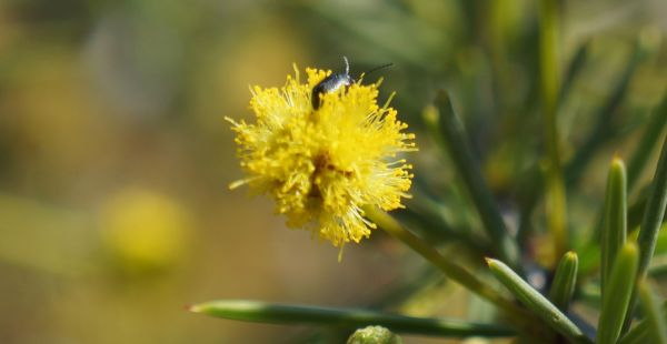 beetle on acacia flower