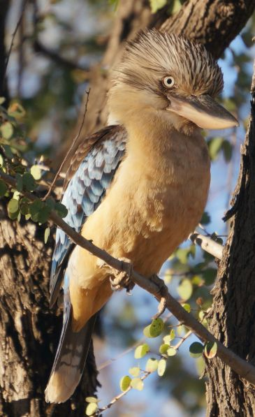 Blue winged Kookaburra 2