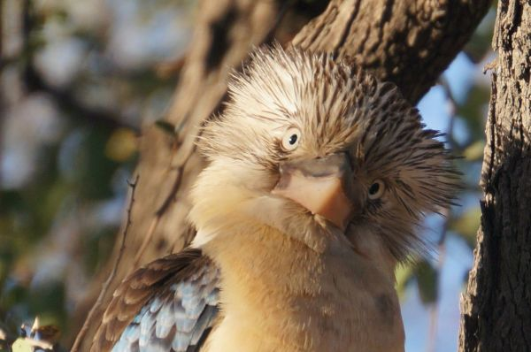 Blue winged Kookaburra 3