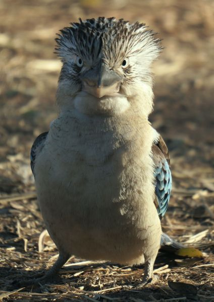 Blue winged Kookaburra stare