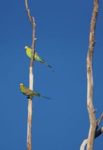 Budgies - King's site