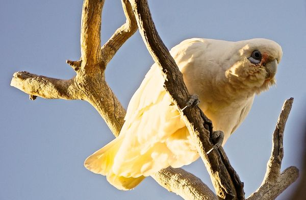 Corella at Mungerannie
