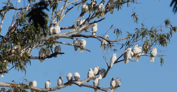Corellas at Burke's gravesite