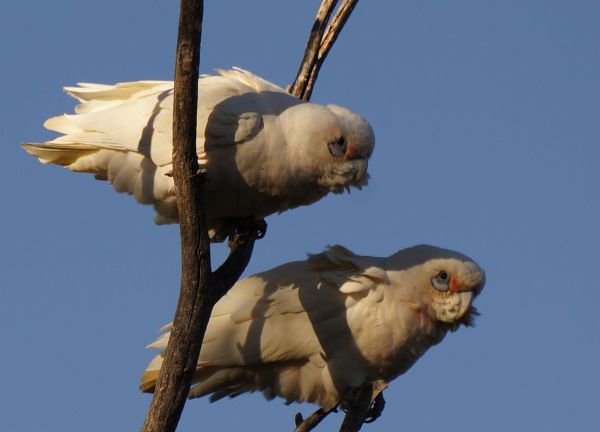 Corellas at Mungerannie