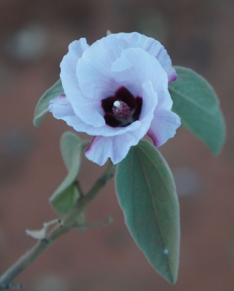desert rose - Wolfe Creek