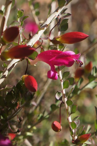 Fuschia - Anzac Hill