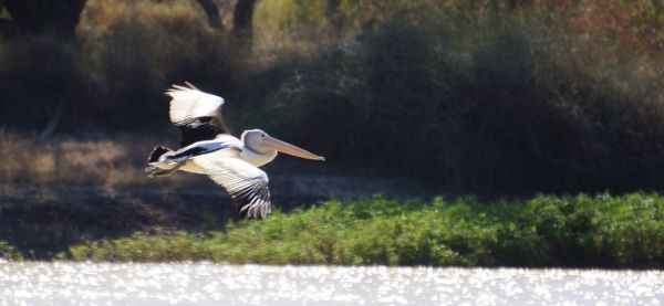 Pelican - Cooper Creek