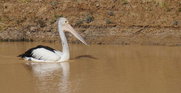 pelican - Jardine's waterhole