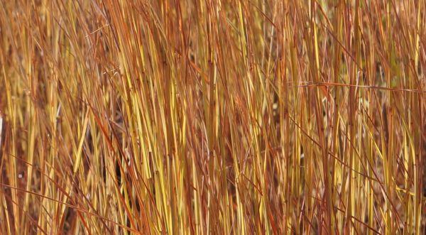 Purnululu grasses