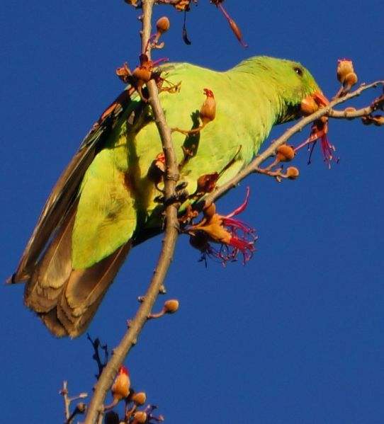 Purnululu - red winged parrot