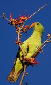 Red winged parrot 2