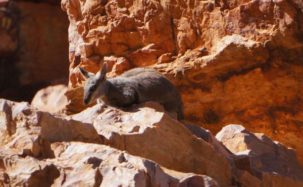 Rock wallaby - Simpsons Gap