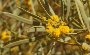 Yellow buds on the Birdsville Track