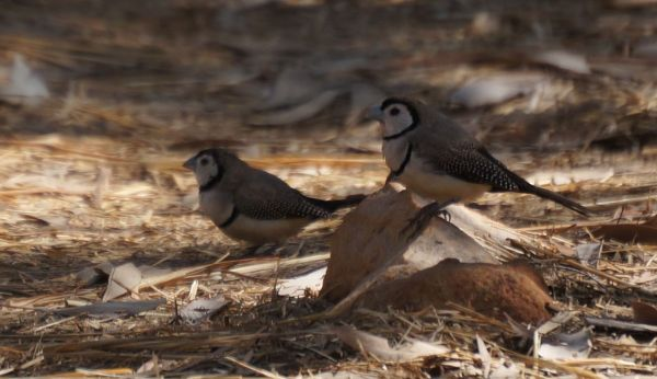 2 Aug - double barred finches - Mitchell Falls Walk