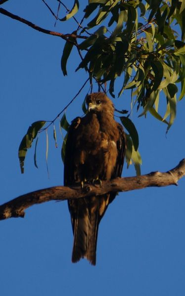 2 Aug - young wedgetail eagle