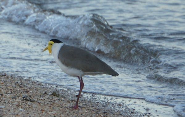 4 Aug - morning Masked Lapwing - McGowan's