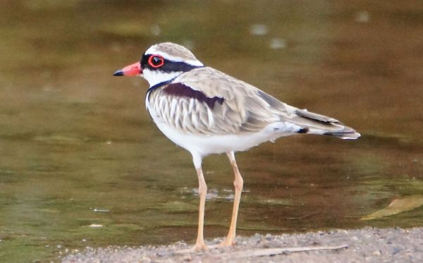 black-fronted dotterell 1
