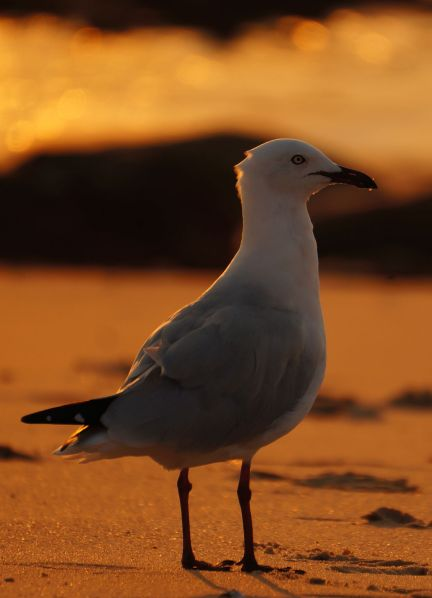 Cape Leveque sunset - gull