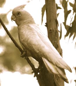 Corella - Windjana Gorge