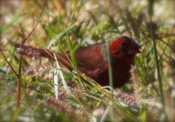 Crimson Finch 1 - Mornington camp ground