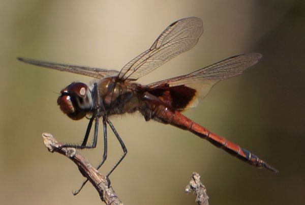 dragon fly - Dimond Gorge, Mornington