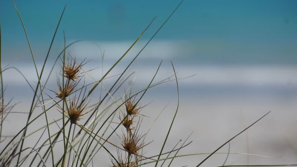 dune flowers - Cable Beach
