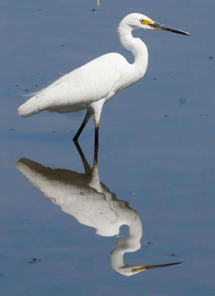 egret - billabong