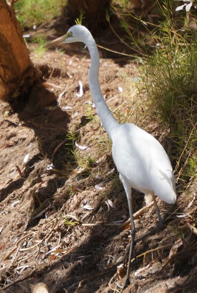 Egret - Dimond Gorge, Mornington