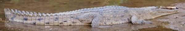 Freshwater croc out of water - Windjana Gorge