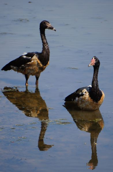 Magpie Geese pair - reflections