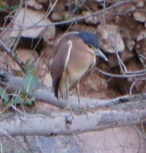 Nankeen Night Heron - Windjana Gorge