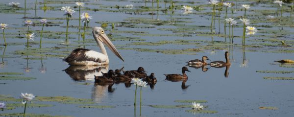 pelican and ducks - billabong