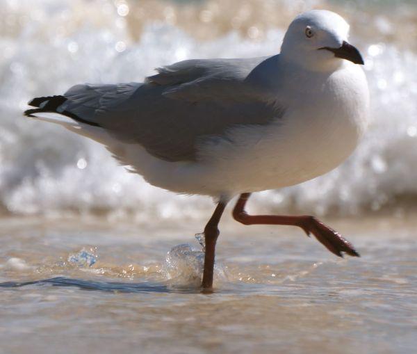 prancing seagull