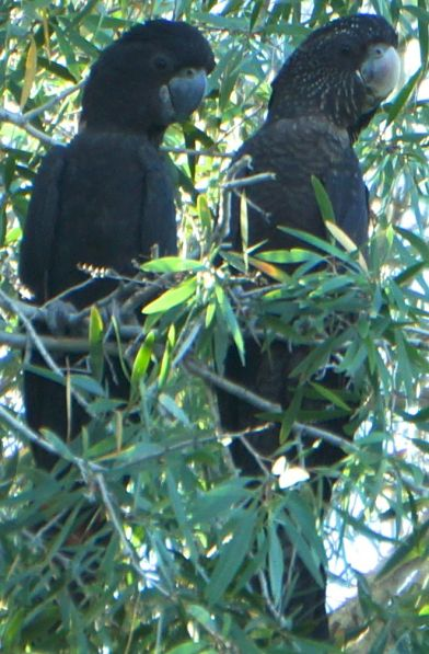 red-tailed black cockatoos - Giekie Gorge