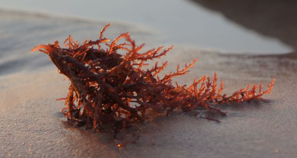 sunset seaweed