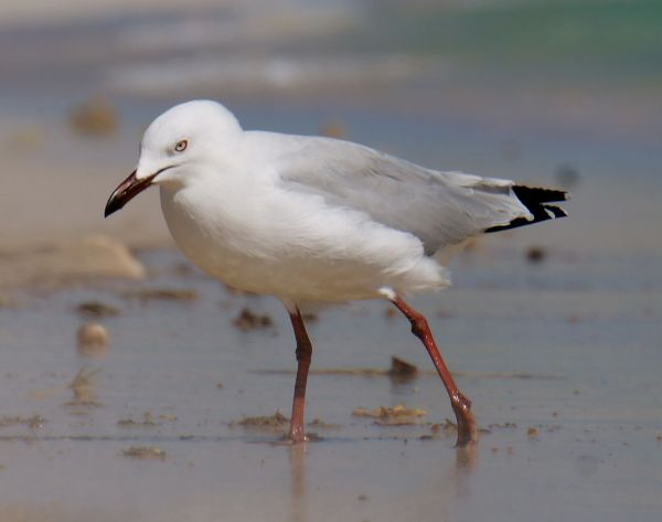 wading seagull