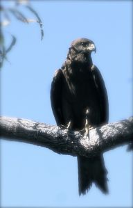 Wedgetail Eagle - Windjana Gorge