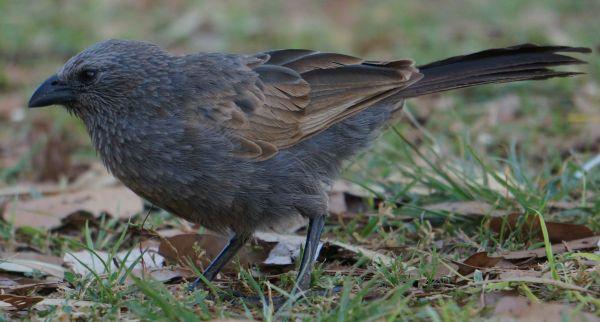 Apostle Bird 1