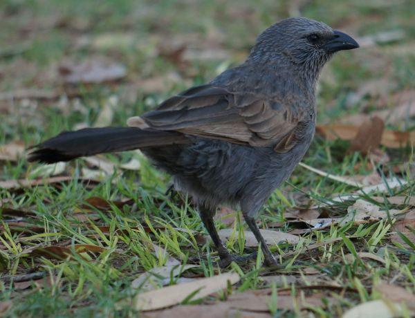 Apostle Bird 2
