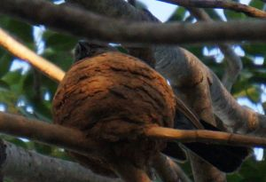 Apostle Bird 3