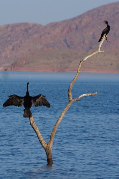 Darter drying wings - Lake Argyle