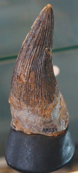 Kronosaurus tooth